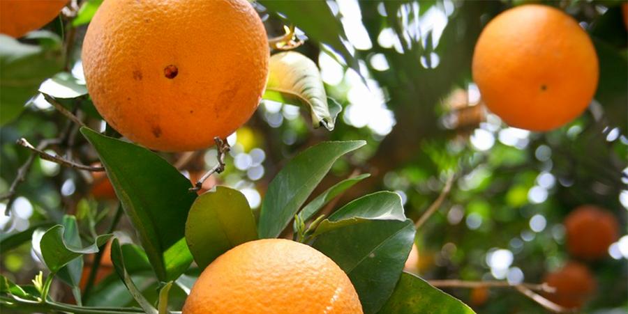 Juice Wedding Band Northern Ireland   pic of an orange tree