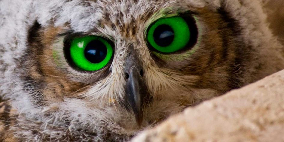 Photo of an owl's eyes