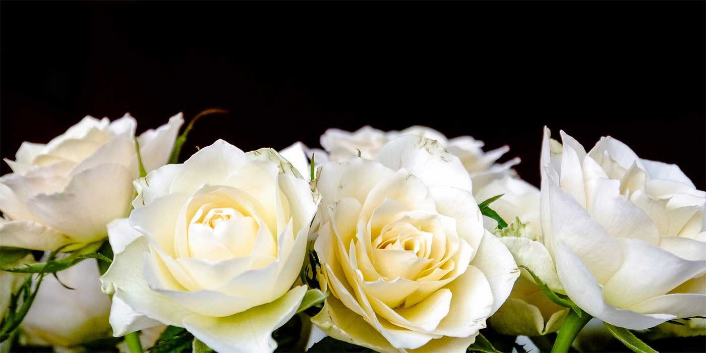 Photo of some white roses