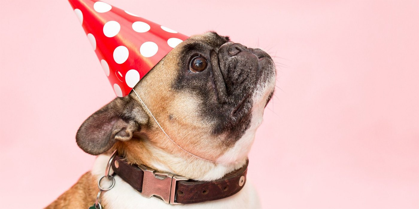 Photo of a Pug with a party hat