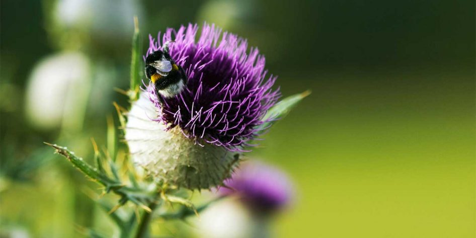 Photo of a Scottish Thistle and a bumblebee