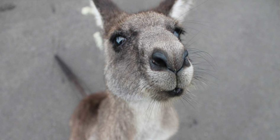 Close up photo of an Australian kangaroo