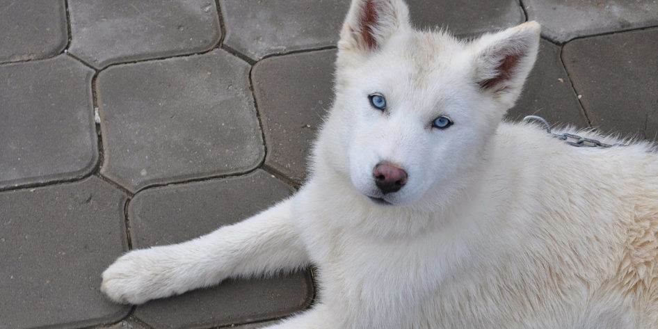 Photo of a white husky with blue eyes