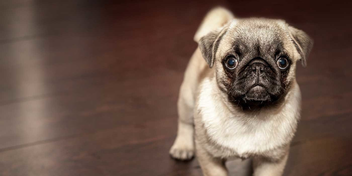 Photo of a Pug puppy