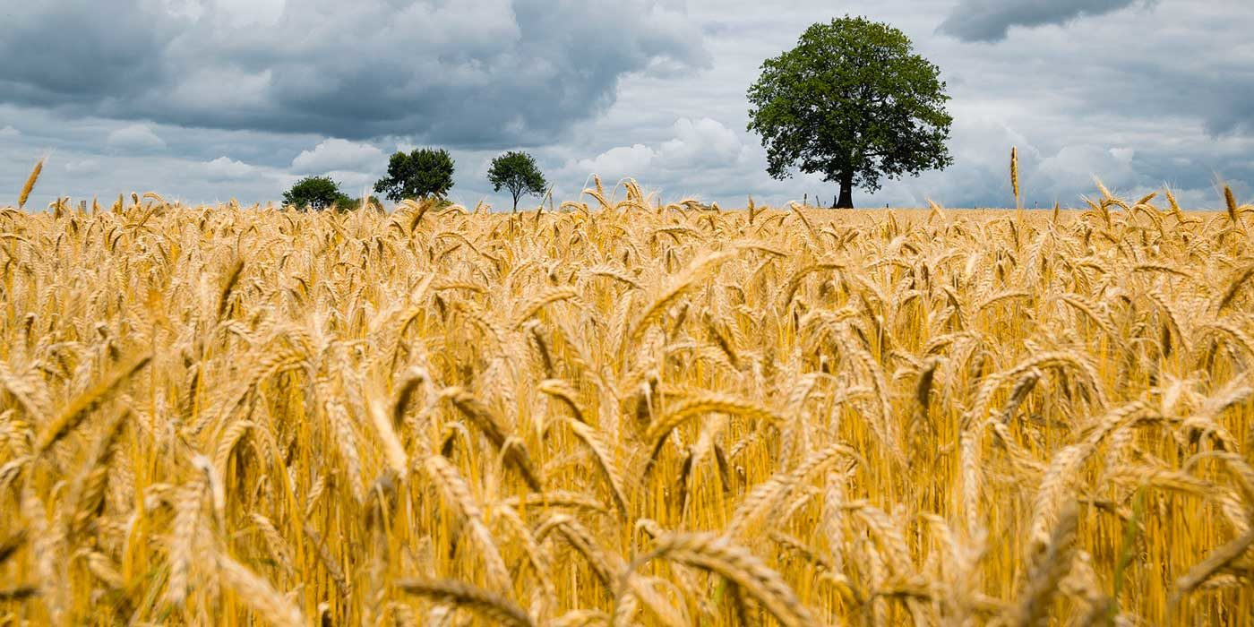 Photo of a barley field and blue sky