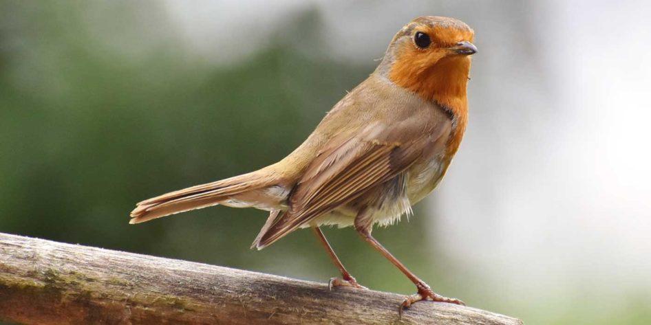 Photo of a songbird