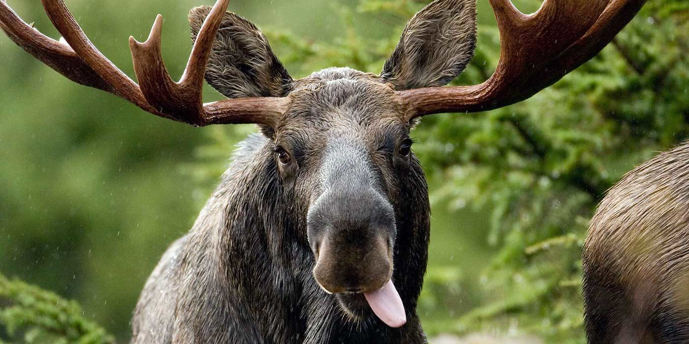 Photo of a Canadian moose sticking it's tongue out