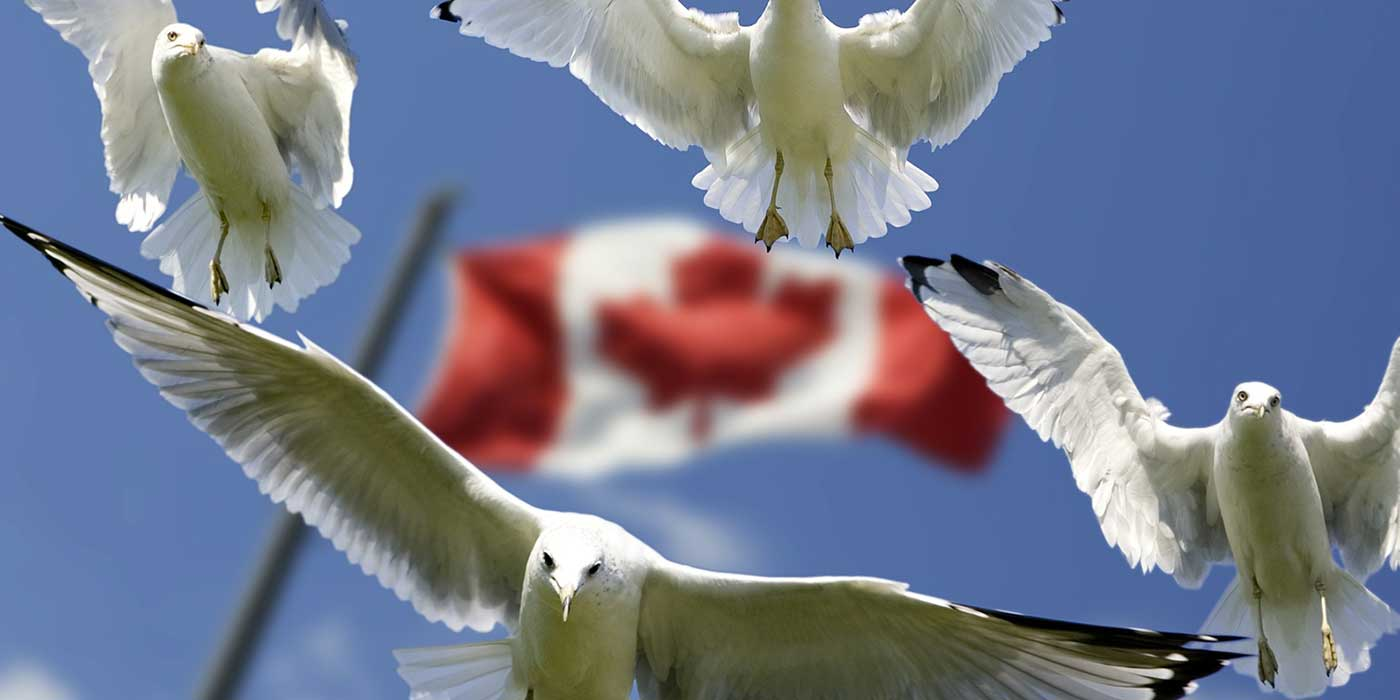 Photo of seagulls flying in front of the Canadian flag